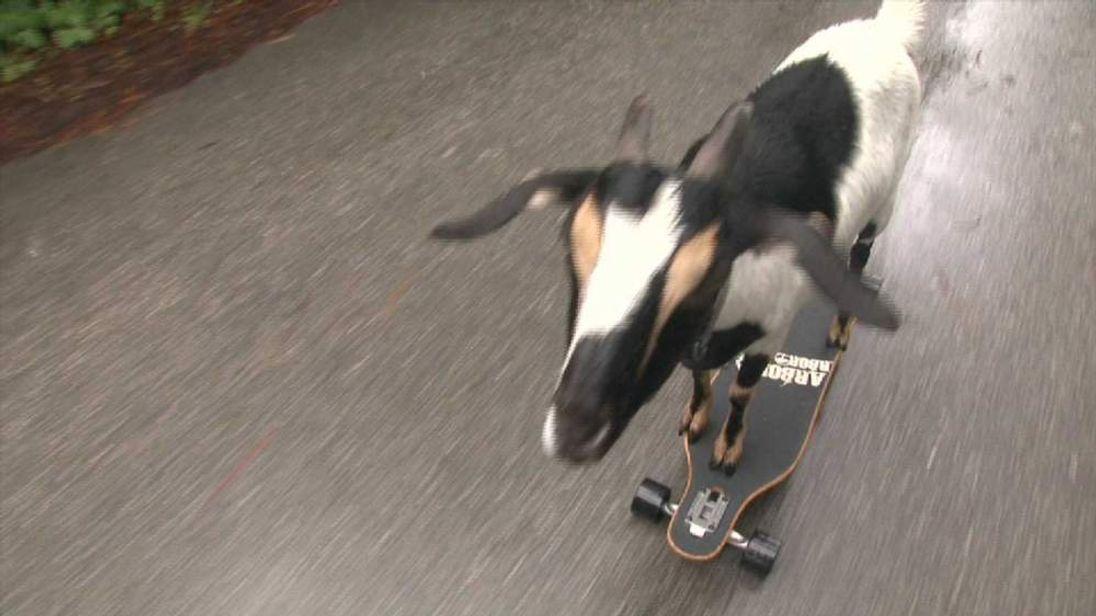 A goat on a skateboard