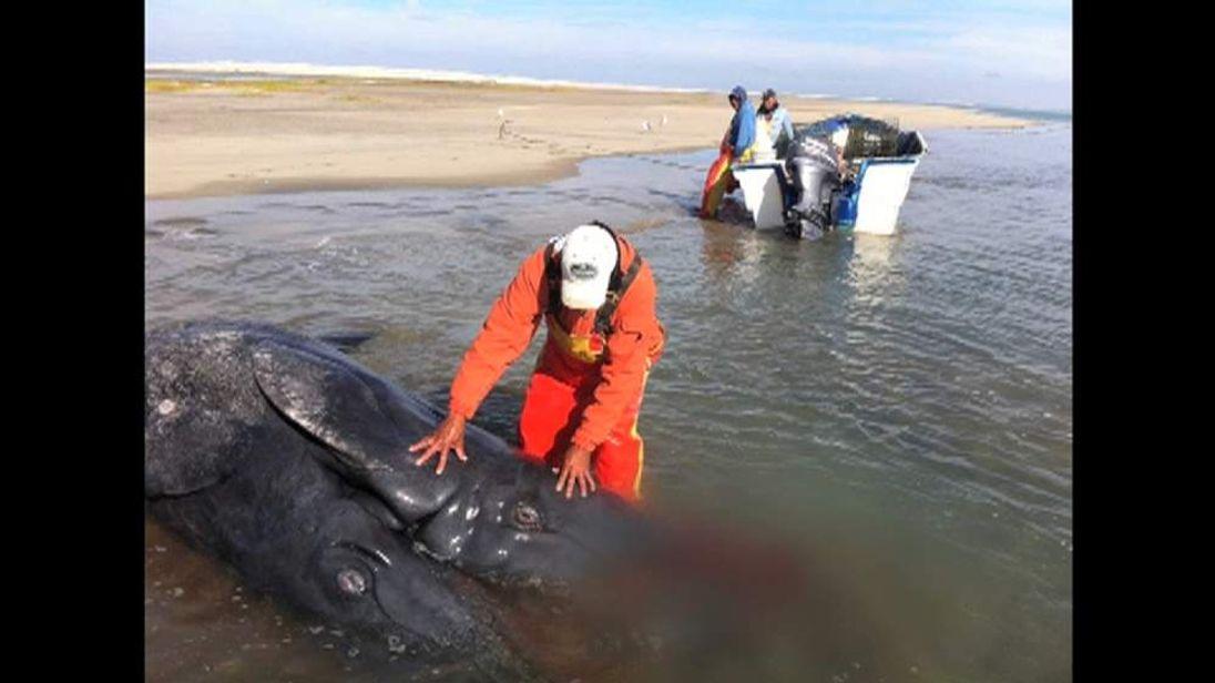 Conjoined whale calves Mexico. Picture: Facebook / Jesus Gomez
