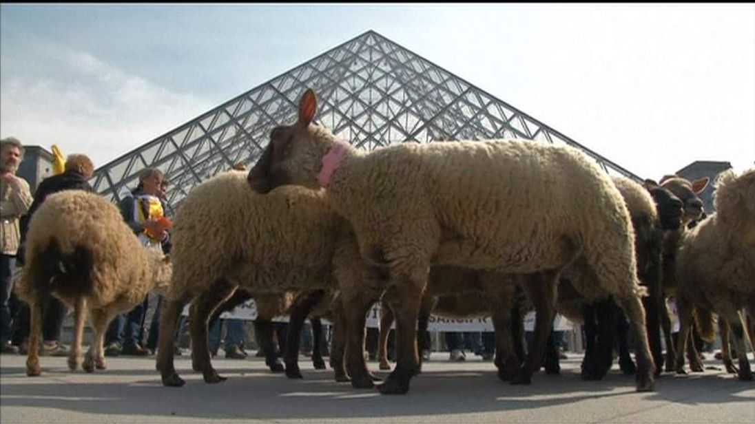 French farmers herd sheep into the Louvre in Paris to protest against reforms to agricultural policy.