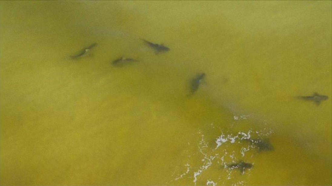 Alabama sharks