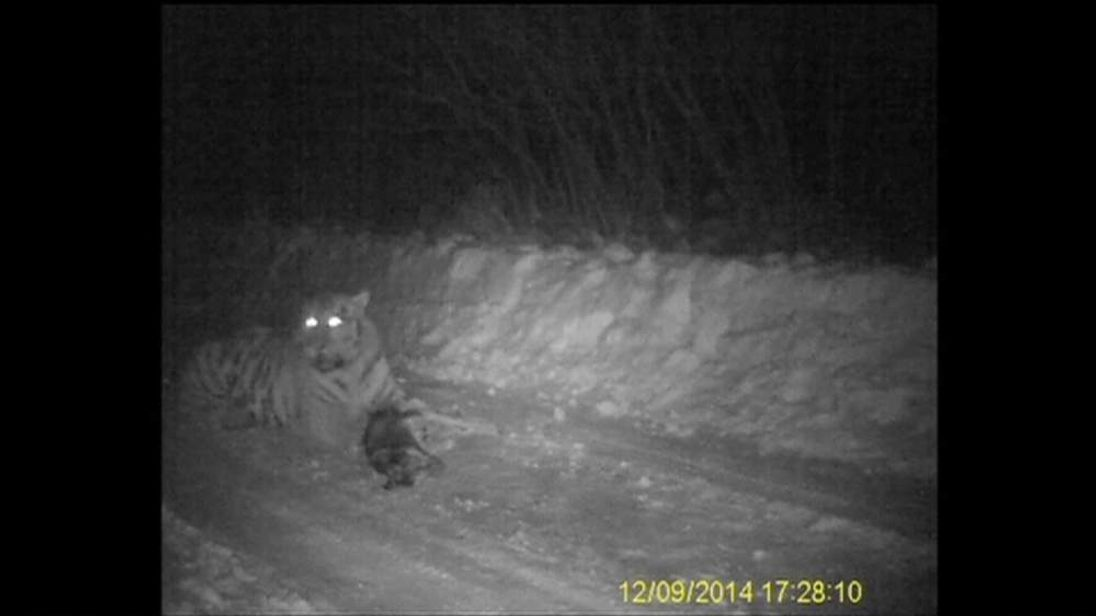 A Tiger Putin Released Into The Wild Filmed Eating A Dog