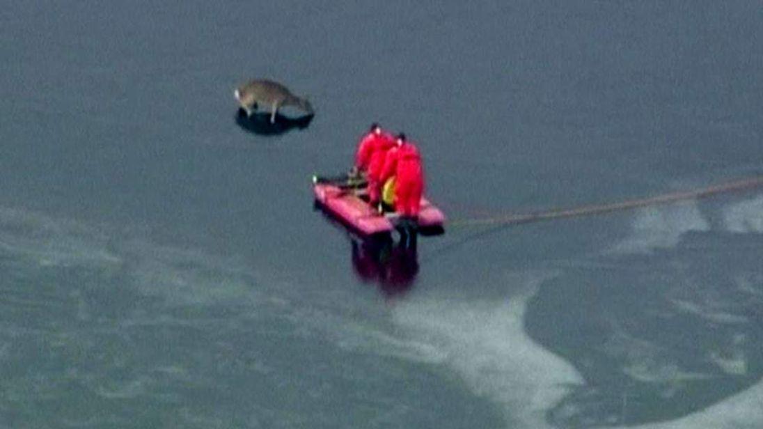 Deer rescued at Cambridge Reservoir just outside Waltham, Massachusetts.
