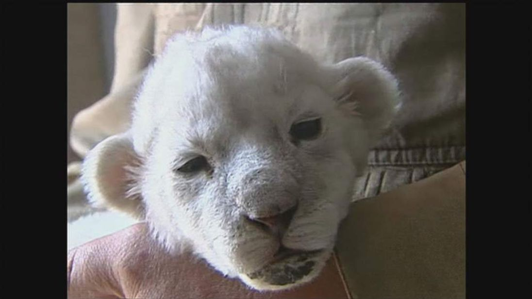 Rare White Lion In China