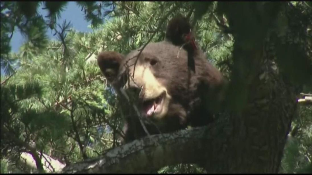 Black Bear Meatball saved by online campaign