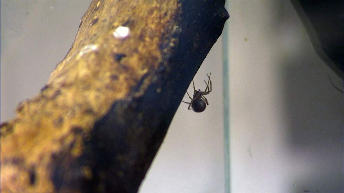 The false widow spider, or Steatoda nobilis