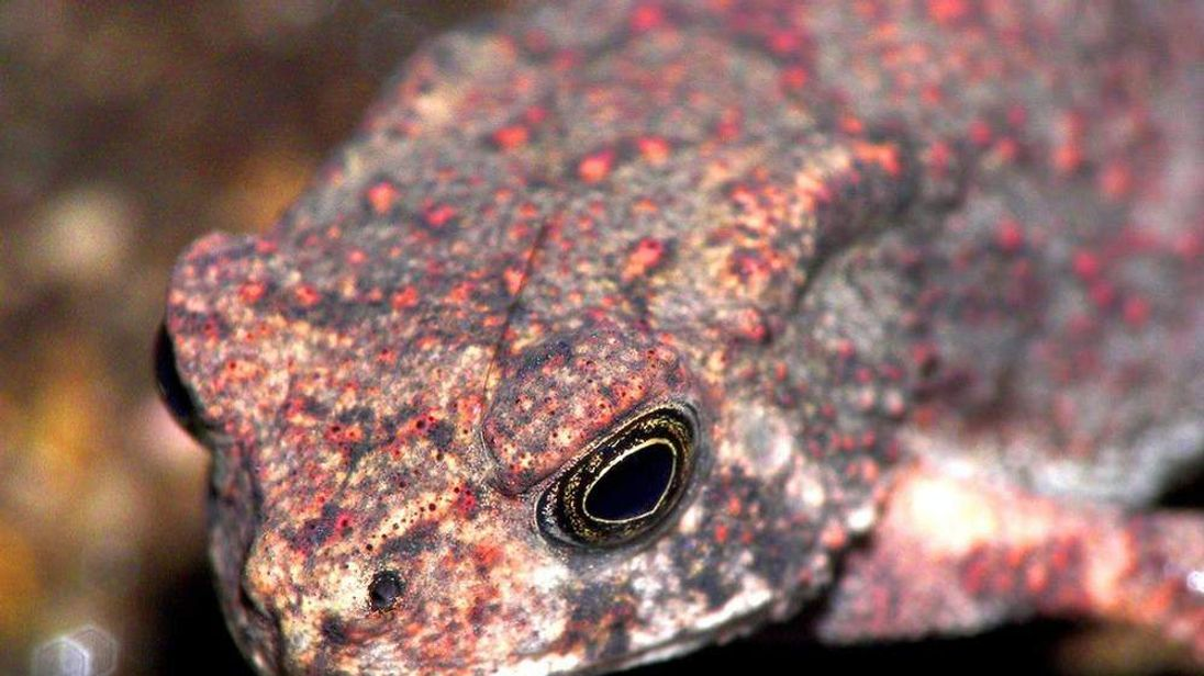 Asian common toad Pic: Charles Lam/Flickr