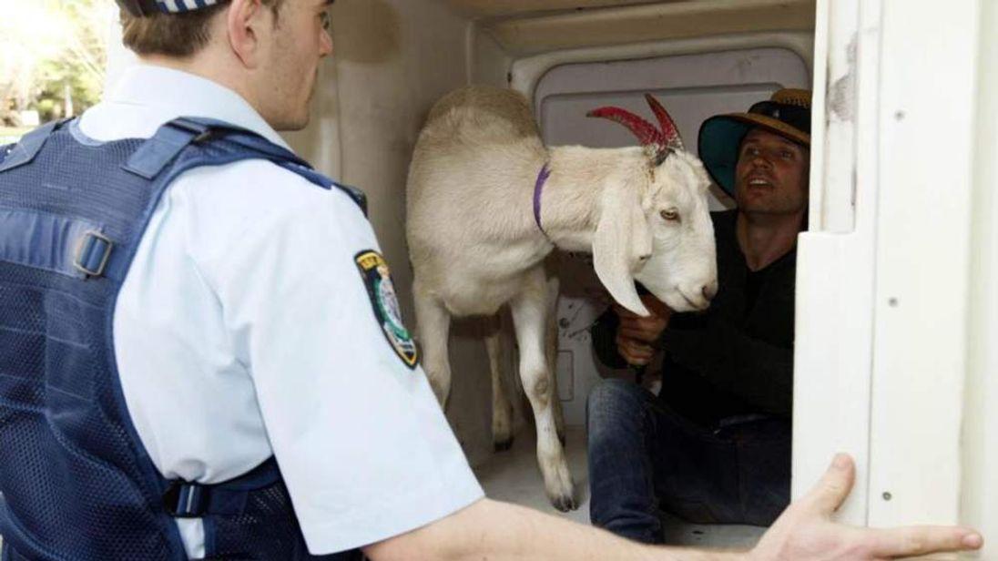 Gary the goat and Jimbo Bazoobi