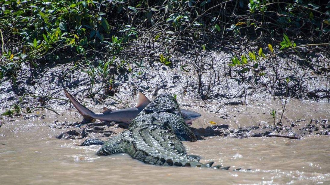 Five Metre Crocodile Attacks Bull Shark