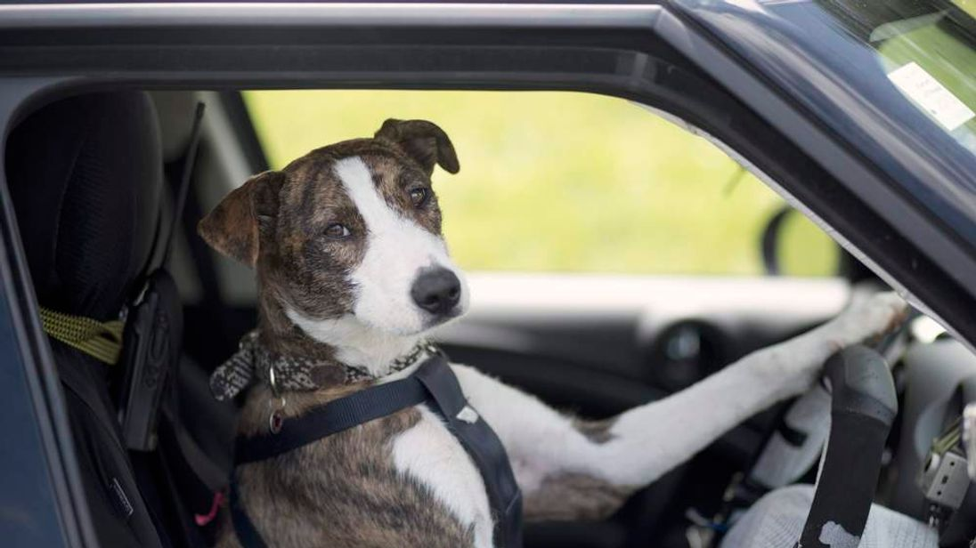New Zealand Driving Rescue Dogs