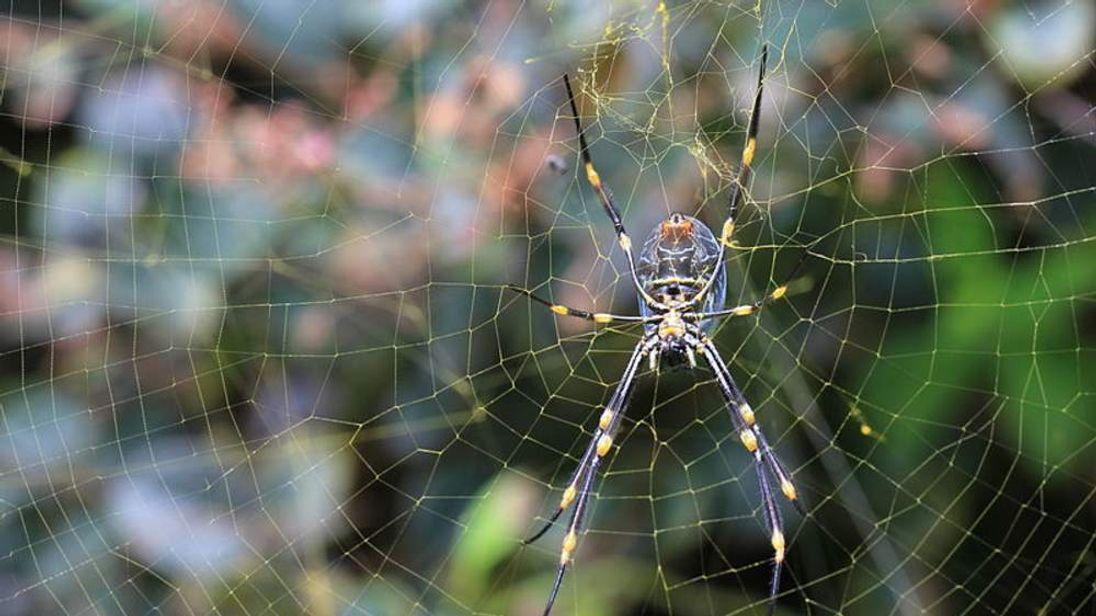 Goldon Orb Weaver Spider