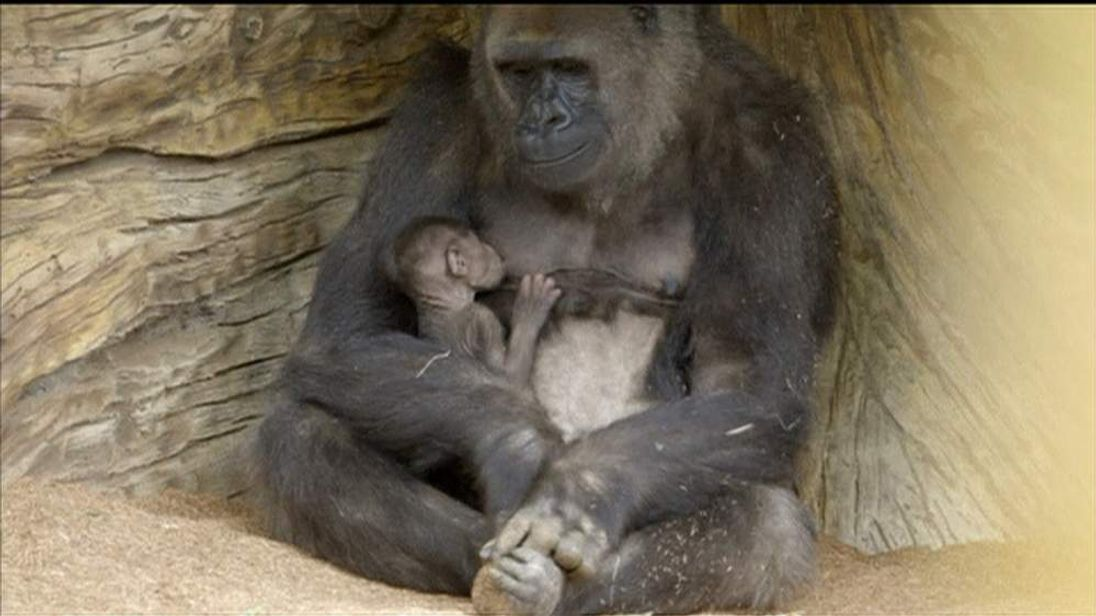 San Diego zoo introduces its newest arrival to the public
