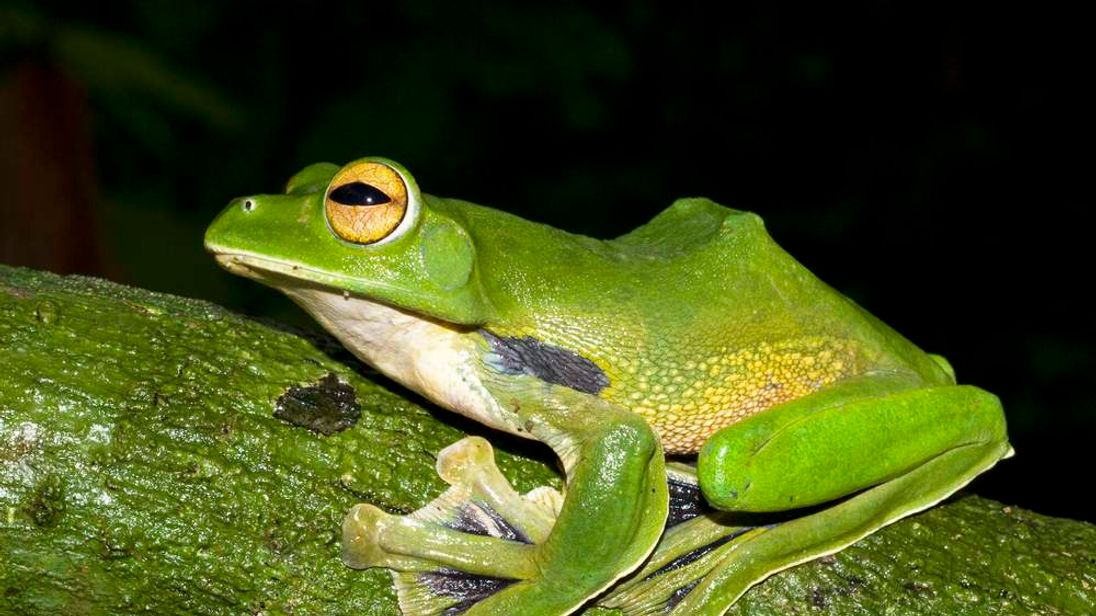 Helen's Flying Frog perched on a branch in Nui Ong Nature Reserve in Vietnam's Binh Thuan Province