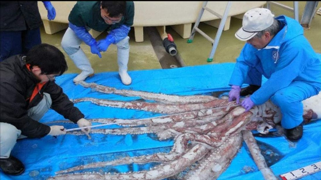 The squid is measured