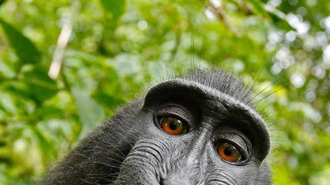 Macaque selfie using photographer David Slater's camera