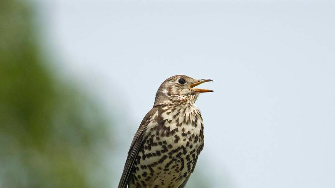 Mistle thrush singing on a fencepost