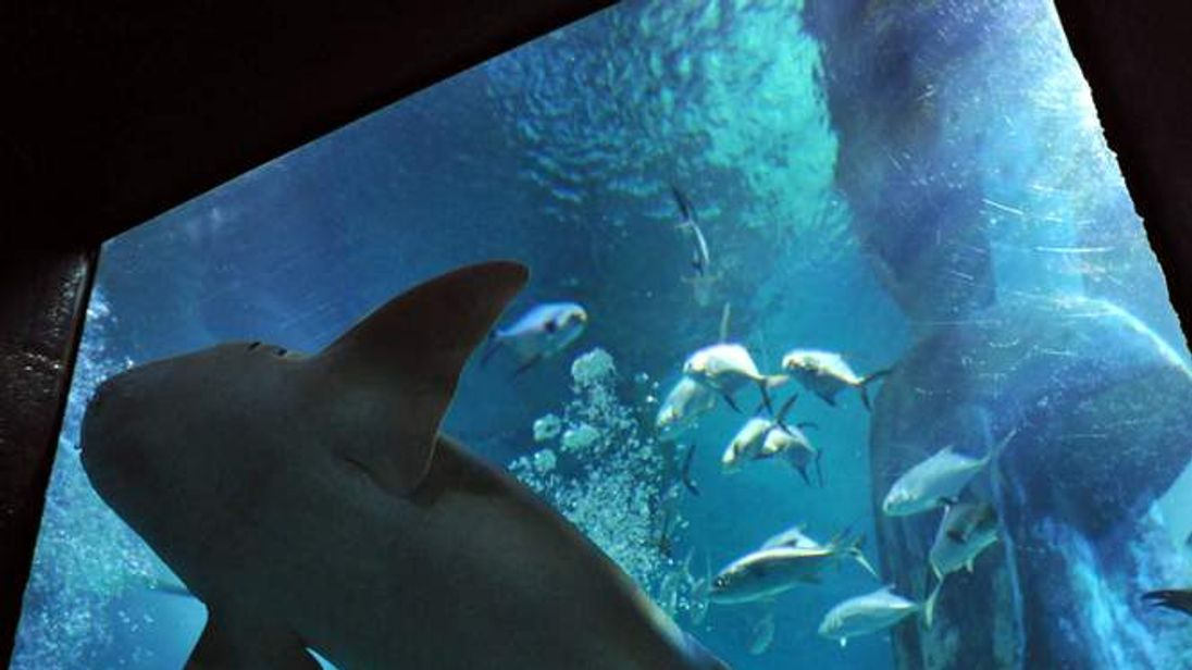 A nurse shark swims above a diver collecting shark teeth in the Sea Life London Aquarium