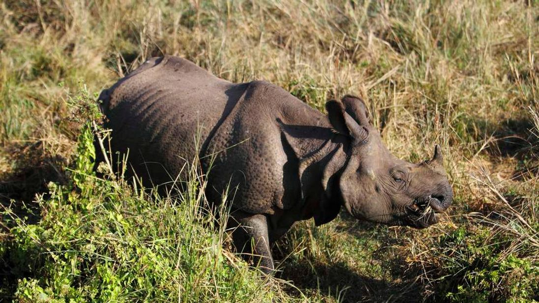 A one-horned rhino feeds on wild grass at Chitwan National Park