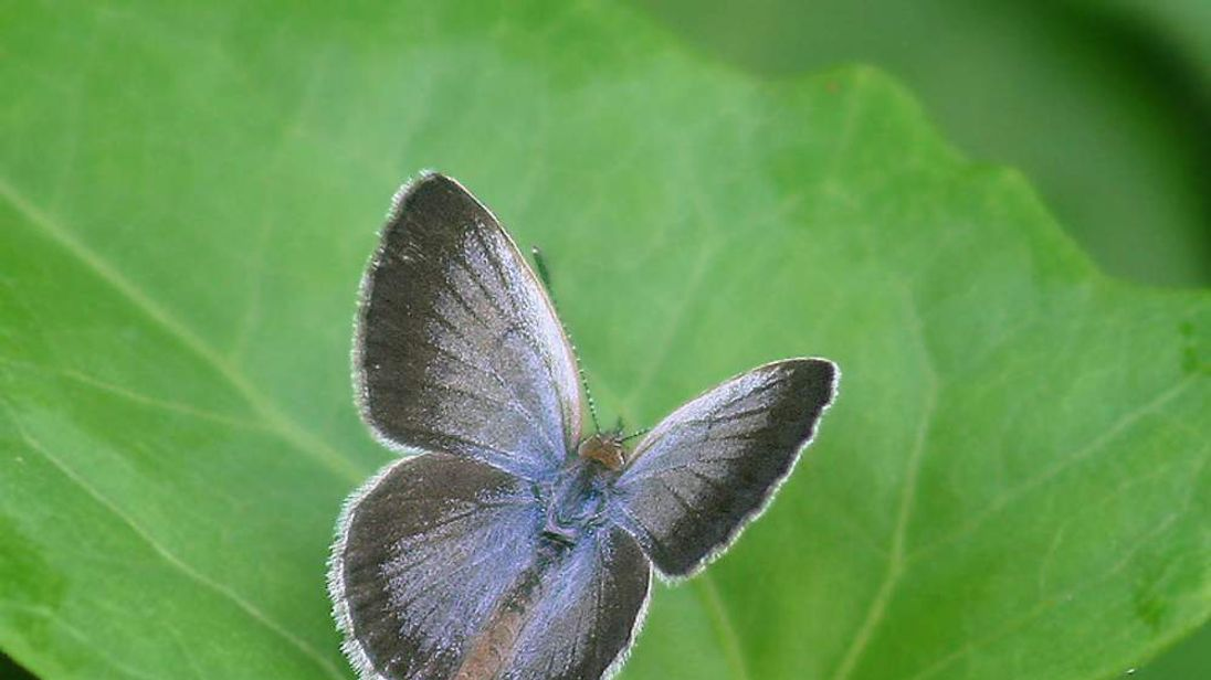 Pale blue grass butterfly