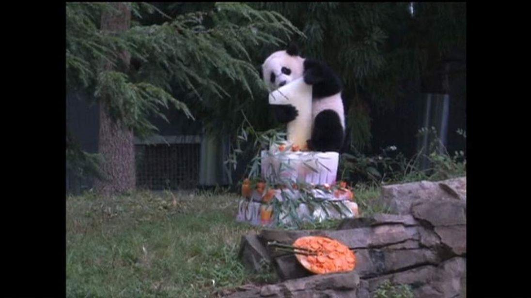 Panda cub's first birthday