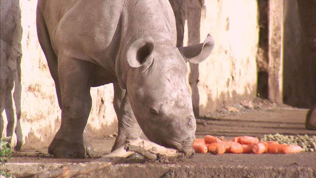 Chanua, a female black rhino calf born at Chester Zoo