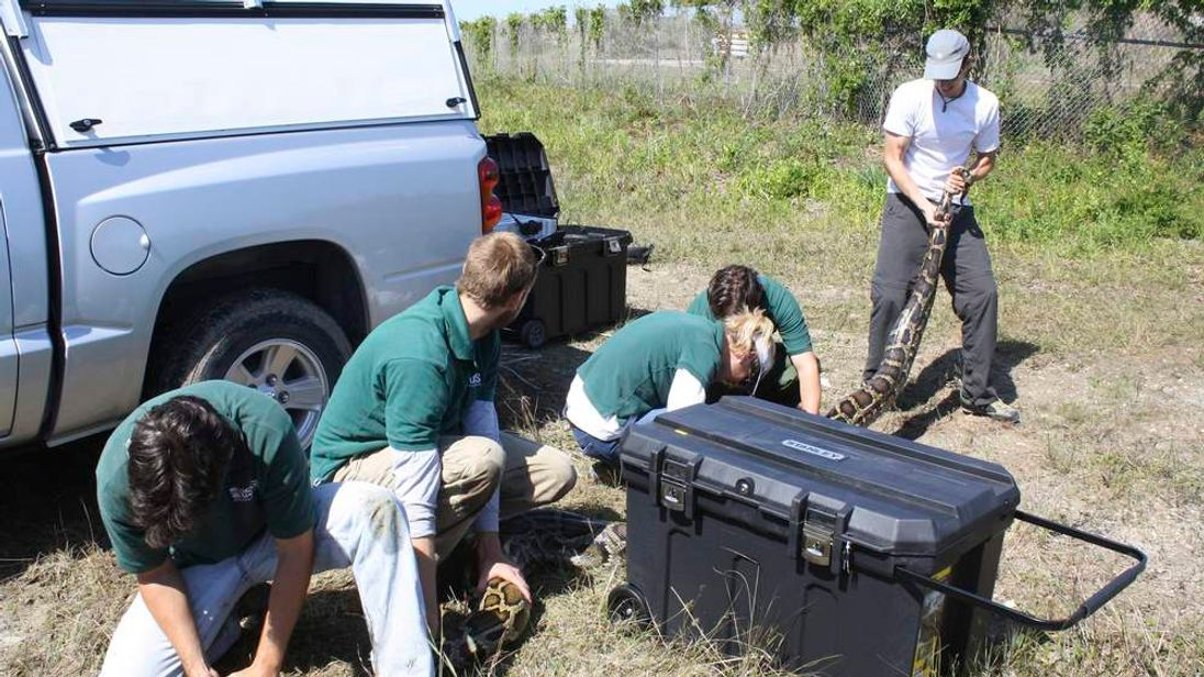 Researchers capture a Burmese python in the Everglades National Park