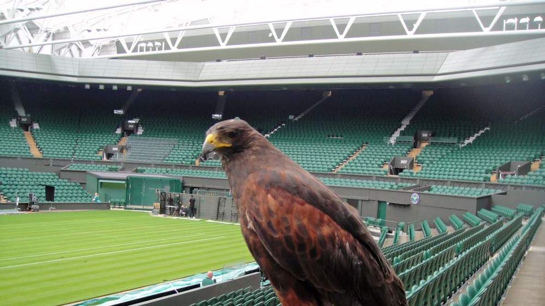 He Is Here To Scare The Pigeons That Come During The Match