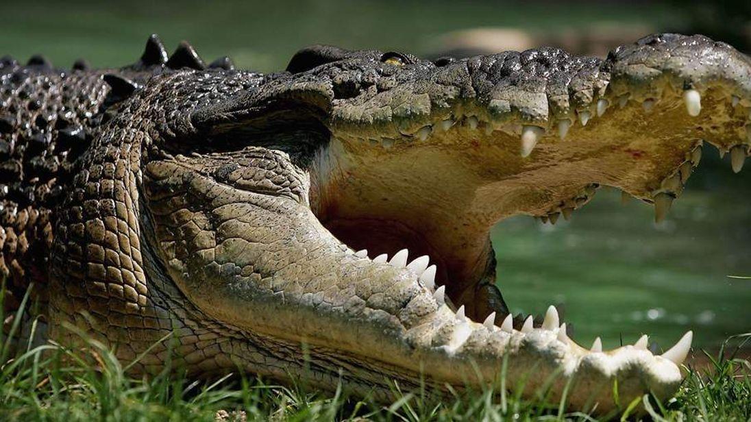 An Australian Saltwater Crocodile.
