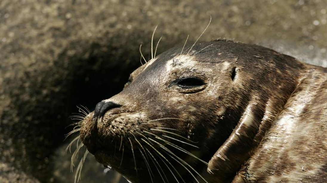 US Harbour Seal