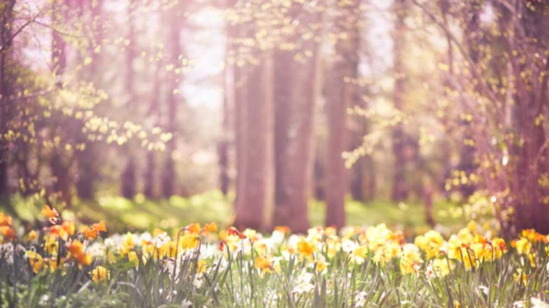 A scene of daffodils in spring