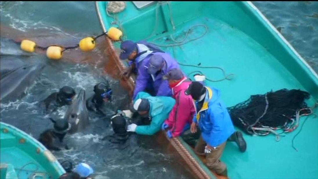 Annual dolphin hunt at Japan's Taiji Cove