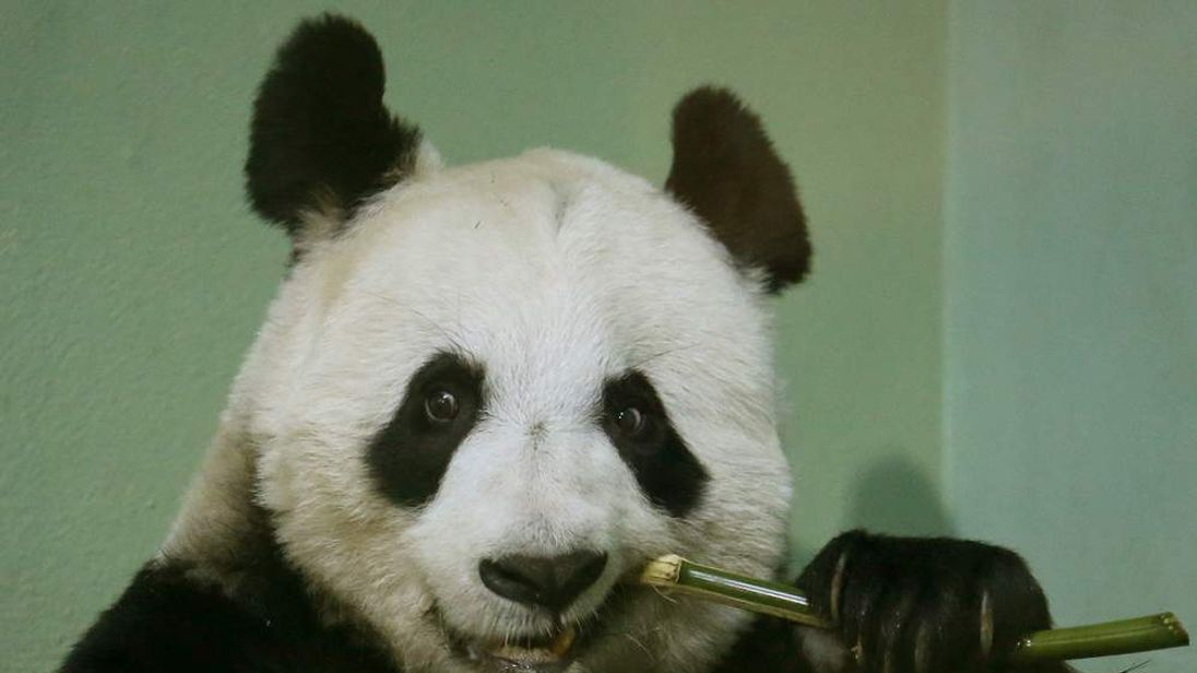 Tian Tian bites on a bamboo stick