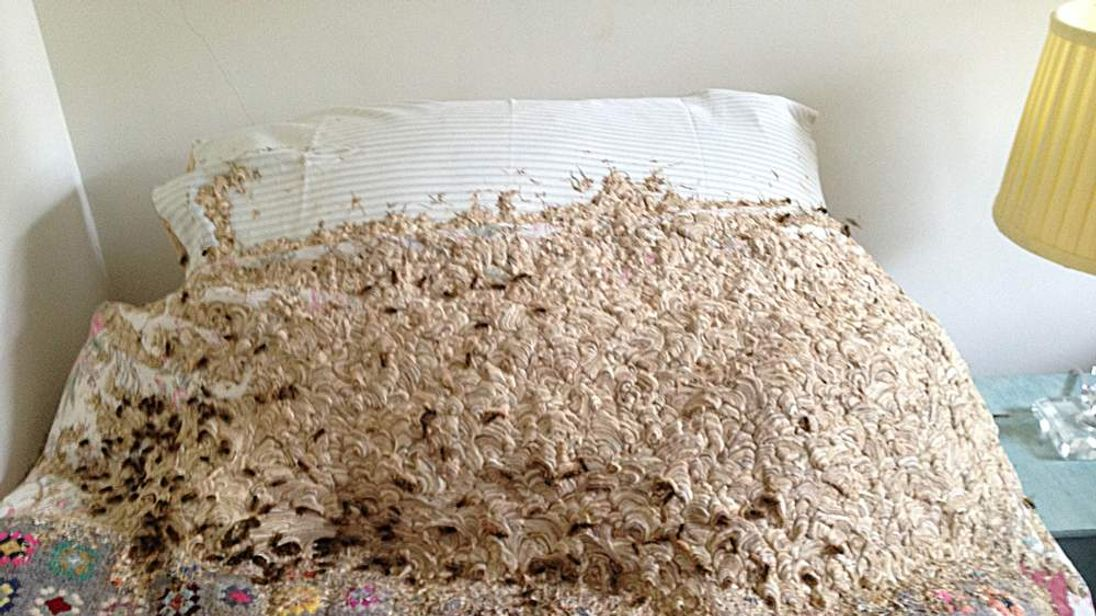 The wasp nest removed from a house in Winchester