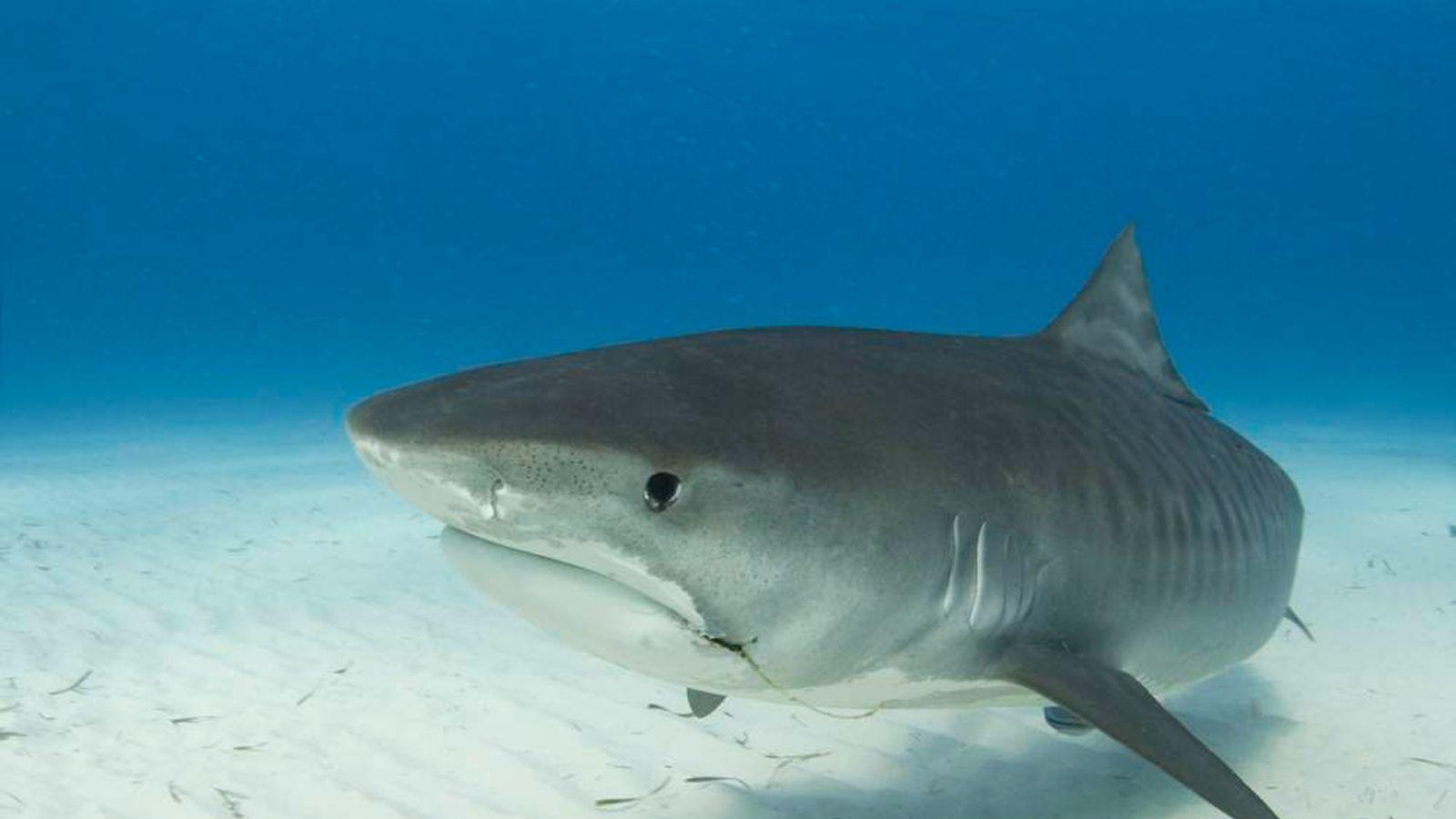 Australia: First Shark Killed As Cull Begins