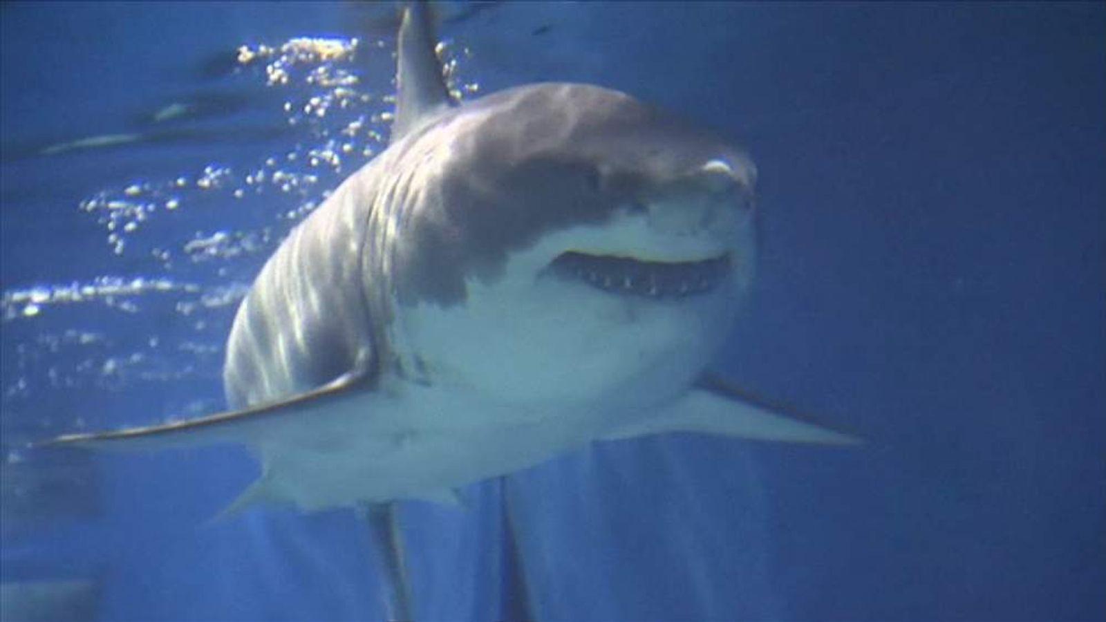 Great White Dies After Three Days In Aquarium