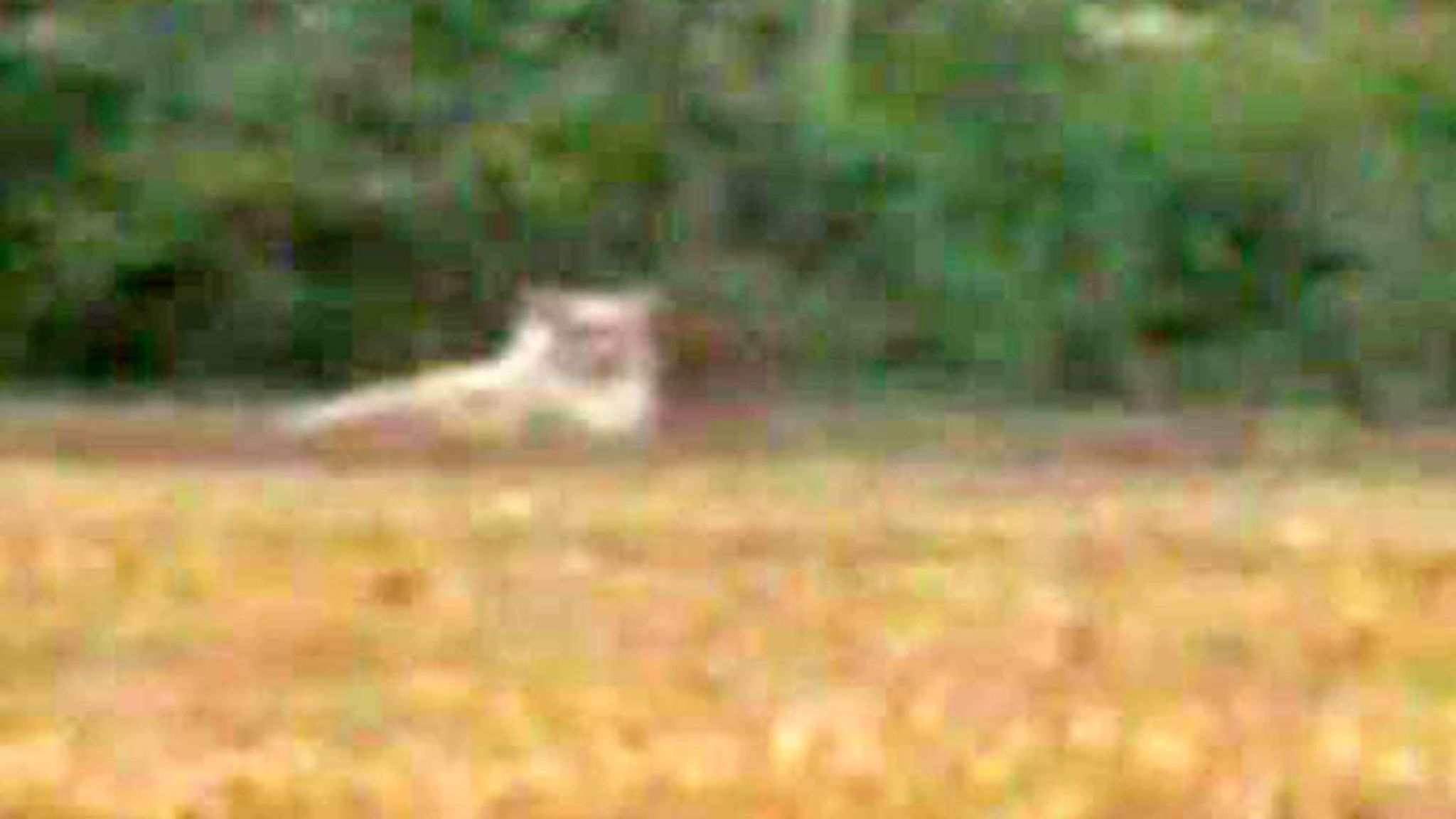 lion loose in essex hoax