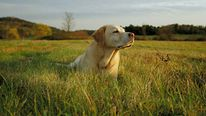 A Labrador dog lying down in a field on a sunny day