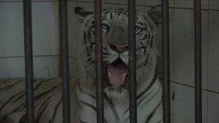 India White Tiger