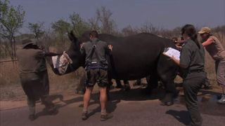 A rhino being helped in Kruger National Park.