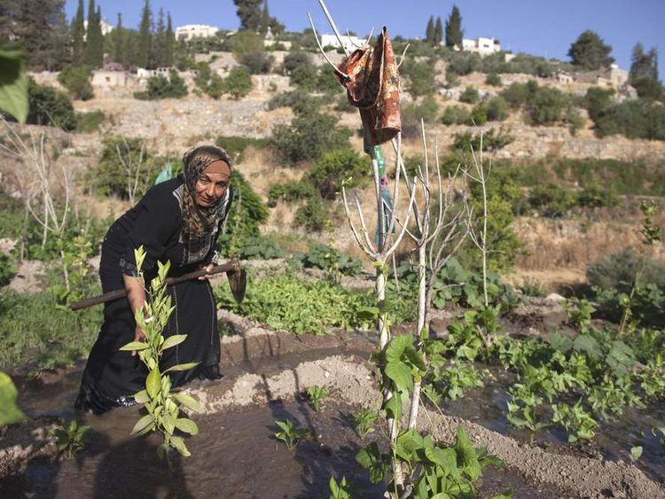 A Palestinian farmer irrigates her land