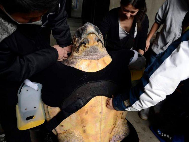 JAPAN-ANIMAL-TURTLE-SCIENCE