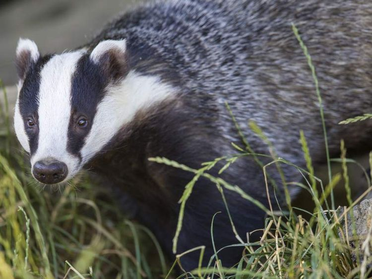 Badger cull ends early after failing to meet target