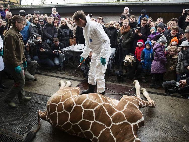 Marius' corpse at Copenhagen Zoo, Denmark.