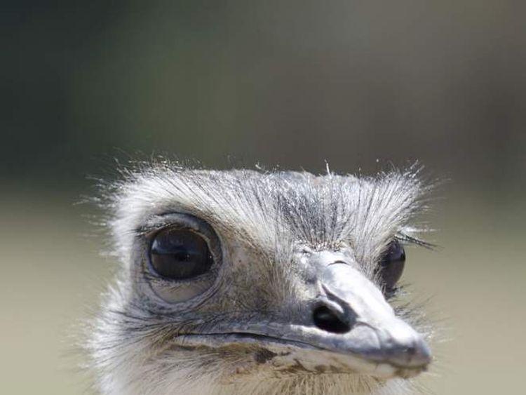 A rhea, an ostrich-like bird with six-inch long claws