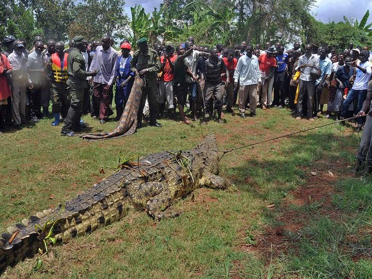 Man-eating crocodile captured in Uganda