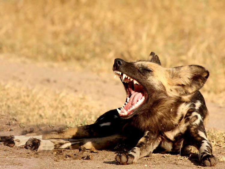 African Painted dog file