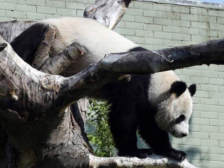 Edinburgh Zoo's giant panda, Tian Tian