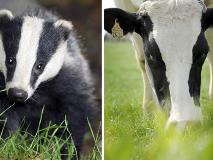 The source of the M. bovis bacteria may have been infected wildlife
