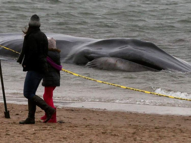 Large Whale Beached At Breezy Point