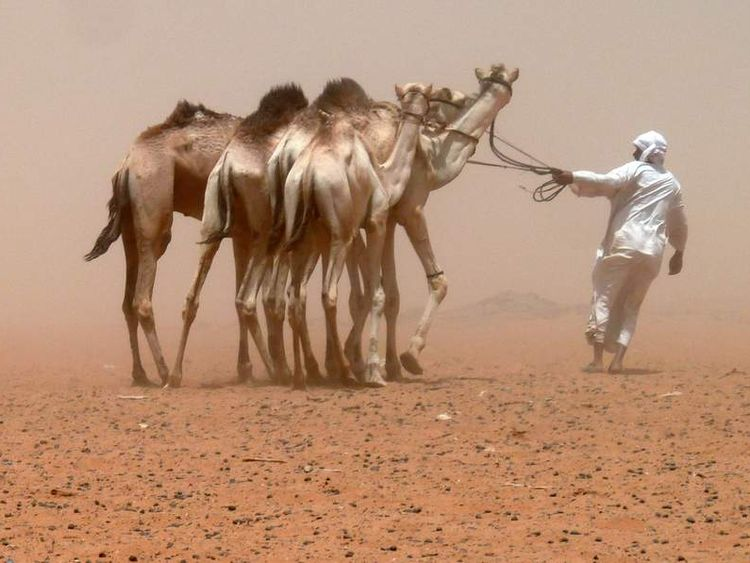 Camels, like these in Sudan, are used widely across African and the Middle East