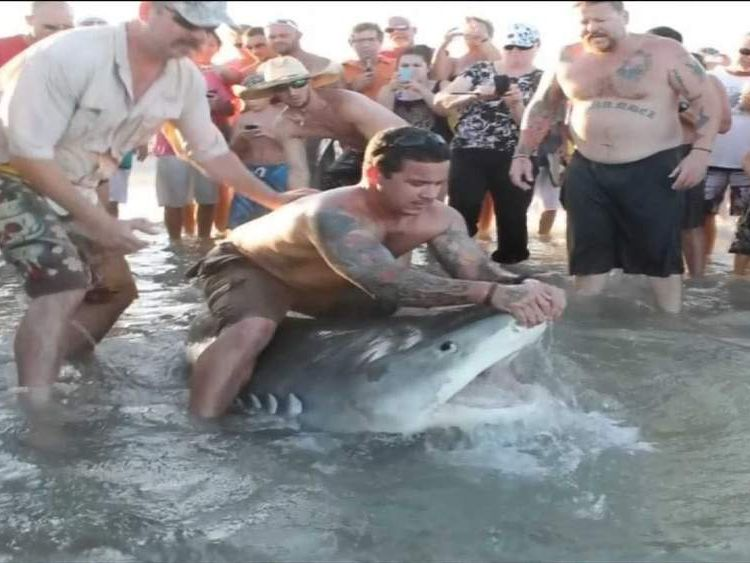 Tiger Shark caught by rod from beach in Corpus Christi Texas